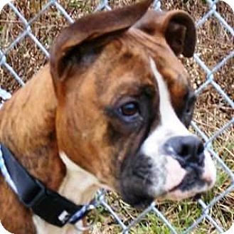 Boxer Dog for adoption in Oswego, Illinois - Jax