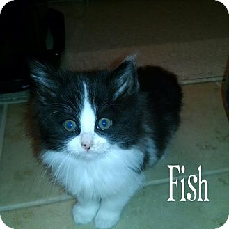 Domestic Longhair Kitten for adoption in Fort Worth, Texas - Fish