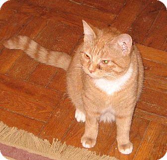 Domestic Shorthair Cat for adoption in Colmar, Pennsylvania - Jessie-Discounted Adoption Fee
