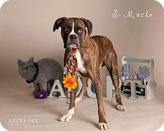 Boxer Dog for adoption in Scottsdale, Arizona - Macho