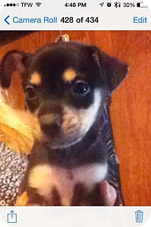 Terrier (Unknown Type, Small)/Pug Mix Puppy for adoption in springtown, Texas - Sunny