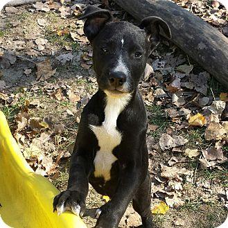 Labrador Retriever/Boxer Mix Puppy for adoption in Davisburg, Michigan - Willie
