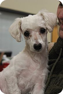 Maltese/Poodle (Toy or Tea Cup) Mix Dog for adoption in Wichita Falls, Texas - Effie
