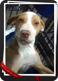 Shar Pei/Pit Bull Terrier Mix Puppy for adoption in Apache Junction, Arizona - Atlas