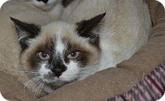 Siamese Kitten for adoption in Michigan City, Indiana - Emerald
