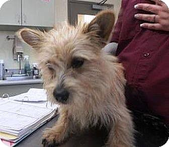 Westie, West Highland White Terrier Mix Dog for adoption in Las Vegas, Nevada - Lil Fatty