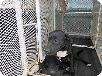 Labrador Retriever Mix Puppy for adoption in Newnan City, Georgia - Walker
