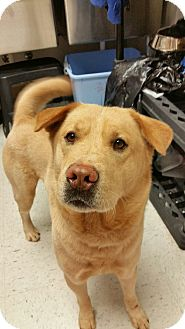Labrador Retriever/Chow Chow Mix Dog for adoption in Chambersburg, Pennsylvania - Fadi