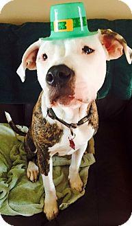 American Bulldog Mix Puppy for adoption in Moyock, North Carolina - Kavir