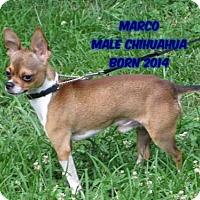 Chihuahua Dog for adoption in Huddleston, Virginia - Marco