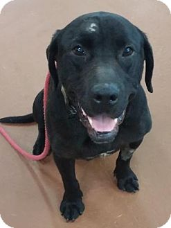Labrador Retriever Mix Dog for adoption in Oberlin, Ohio - Bosco