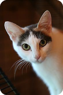 Calico Cat for adoption in New Prague, Minnesota - Adeline