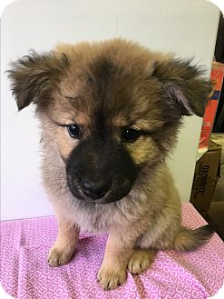 Chow Chow Mix Puppy for adoption in Carson, California - MOOSHOO