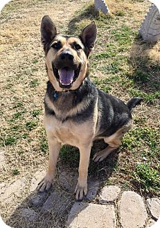German Shepherd Dog Mix Dog for adoption in Austin, Texas - Hunter