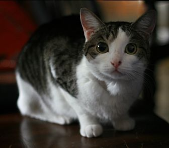 Domestic Shorthair Cat for adoption in Attalla, Alabama - Miss Leonard