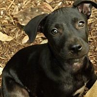 Adopt A Pet :: Sweets - San Antonio, TX