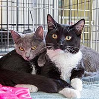 Adopt A Pet :: Summit - Merrifield, VA