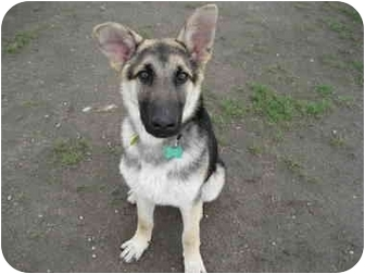 German Shepherd Dog Mix Puppy for adoption in Northville, Michigan - Sam-pending