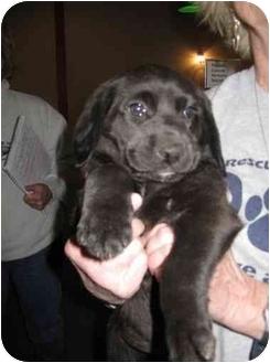 Labrador Retriever Mix Puppy for adoption in Rochester, New Hampshire - Buddy