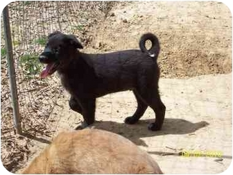Labrador Retriever/Australian Shepherd Mix Puppy for adoption in Naugatuck, Connecticut - Nathaniel