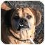 Photo 3 - Pug/Beagle Mix Dog for adoption in Islip, New York - Herbie