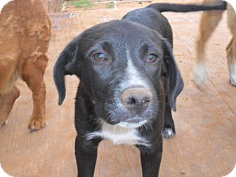 Labrador Retriever/Retriever (Unknown Type) Mix Puppy for adoption in Anton, Texas - Hobo