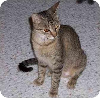 Domestic Shorthair Cat for adoption in Simms, Texas - Dana