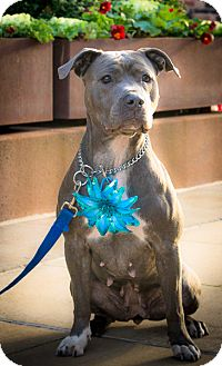 American Pit Bull Terrier Mix Dog for adoption in Freeport, New York - Hope