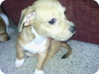 Chihuahua Mix Puppy for adoption in Lexington, Kentucky - Biscuit