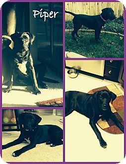 Labrador Retriever Mix Puppy for adoption in Yuba City, California - Piper