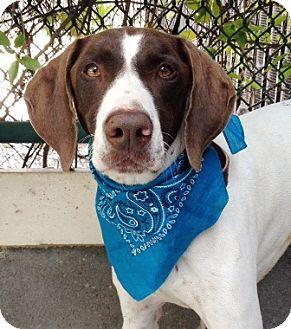 German Shorthaired Pointer Dog for adoption in Dublin, California - Logan