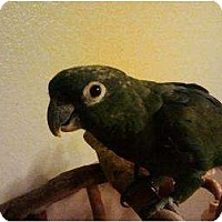 Adopt A Pet :: Bacardi - Fountain Valley, CA