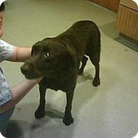 Adopt A Pet :: Brownie - Wappingers Falls, NY