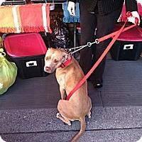 Adopt A Pet :: Olivia - North Hollywood, CA