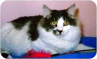 Domestic Longhair Kitten for adoption in Medway, Massachusetts - Chevy