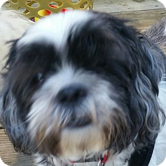 Shih Tzu Dog for adoption in Worcester, Massachusetts - Rocky and Caesar - Bonded Pair