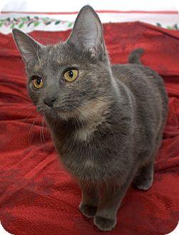 Domestic Shorthair Kitten for adoption in Lombard, Illinois - Savannah