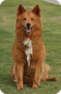 Eskimo Dog Mix Puppy for adoption in Los Angeles, California - KIRBY VON KENT