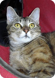 Domestic Mediumhair Cat for adoption in Lisbon, Ohio - Reba - ADOPTED!