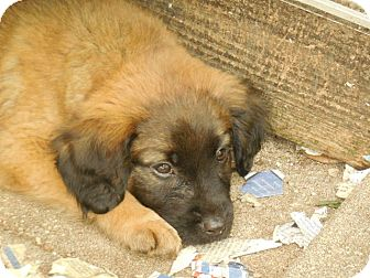 Chow Chow/Labrador Retriever Mix Puppy for adoption in Old Town, Florida - Cruiser
