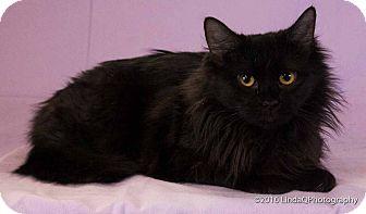 Domestic Longhair Cat for adoption in Las Vegas, Nevada - Zaza