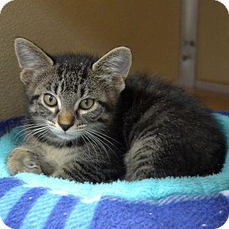 Domestic Shorthair Kitten for adoption in Wheaton, Illinois - Scout