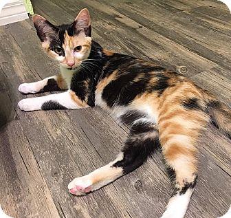 Domestic Shorthair Kitten for adoption in Tampa, Florida - Peekaboo