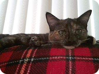 Domestic Shorthair Cat for adoption in Idyllwild, California - Olivia