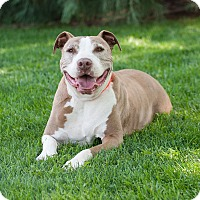 Pit Bull Terrier Mix Dog for adoption in Washoe Valley, Nevada - DJ