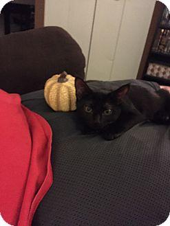 Hemingway/Polydactyl Kitten for adoption in Trevose, Pennsylvania - Juno