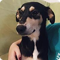 Adopt A Pet :: Rain - Millersville, MD