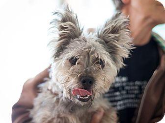 Schnauzer (Standard) Mix Puppy for adoption in Dallas, Texas - Curly