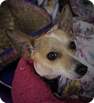Chihuahua Mix Dog for adoption in Philadelphia, Pennsylvania - Swiss