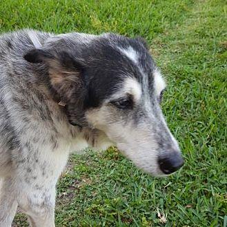 Australian Shepherd Mix Dog for adoption in Santa Fe, Texas - Lady Cleo